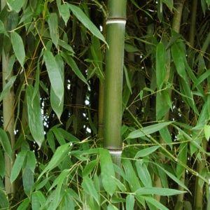 Bambou en pot (7 litres) – Phyllostachys nuda – hauteur 100/150 cm – PLANTES ET JARDINS – Jardinerie en ligne