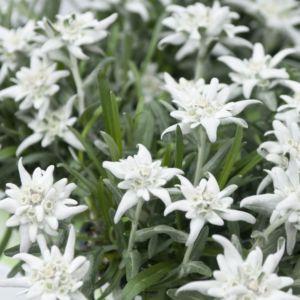Edelweiss des Alpes – Lot de 3 plants en godets – PLANTES ET JARDINS – Jardinerie en ligne