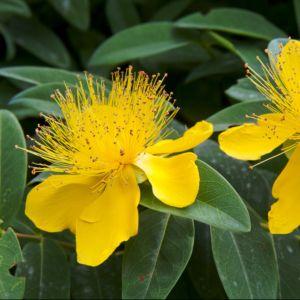 Millepertuis rampant – Lot de 3 godets – PLANTES ET JARDINS – Jardinerie en ligne