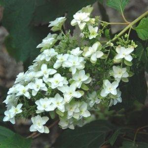 Hortensia à feuilles de chêne  'Snowflake' (Hydrangea quercifolia 'Snowflake') – Pot de 5 litres – PLANTES ET JARDINS – Jardinerie en ligne