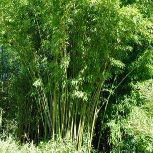 Bambou moyen : Phyllostachys rubromarginata (lot de 2)
