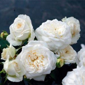 Rosier 'Blanche de Castille'® JACfabco (Rosa 'Blanche de Castille'® JACfabco)