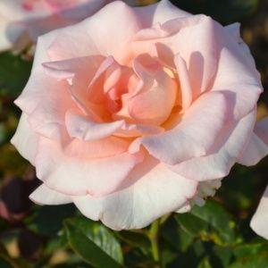 Rosier 'Rose Bayard®' JACsilho (Rosa 'Rose Bayard'® JACsilho)