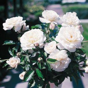 Rosier 'Fabulous!®' JACrex (Rosa Fabulous!® JACrex)