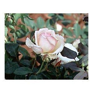 Rosier 'Comtesse de Cassagne' (Rosa x Comtesse de Cassagne)