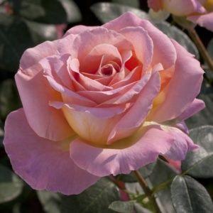 Rosier 'Elle®' Meibderos (Rosa x 'Elle®' Meibderos)
