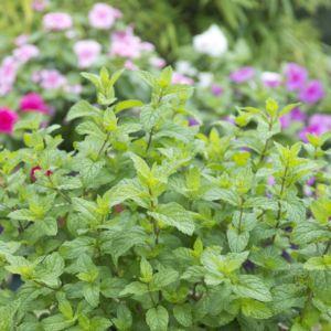 Menthe poivrée (Mentha x piperita citriodora)