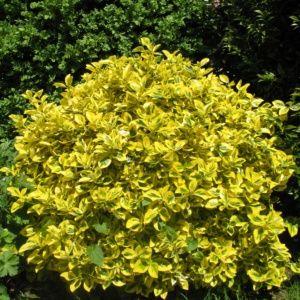 Fusain du japon doré  – Pot de 3 litres – PLANTES ET JARDINS – Jardinerie en ligne