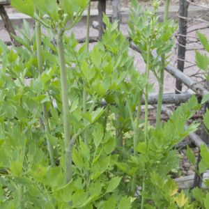 Livèche ou Ache des Montagnes (Levisticum officinalis) – 3 godets carrés de 7X7 cm