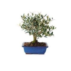 Olivier Bonsaï méditerranéen – Plante d'extérieur – Hauteur totale 40 cm – Olea 10 ans – PLANTES ET JARDINS – Jardinerie en ligne