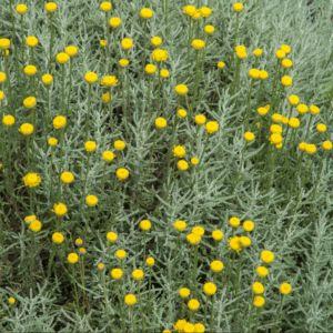Santoline jaune – Lot de 3 godets de 7 cm