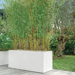 Bambou : Phyllostachys aureosulcata  'Aureocaulis' – En pot de 7 litres