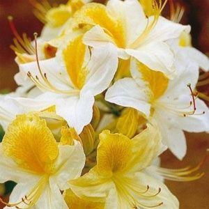 Azalée de Chine 'Toucan' (Rhododendron x Knaphill 'Toucan')