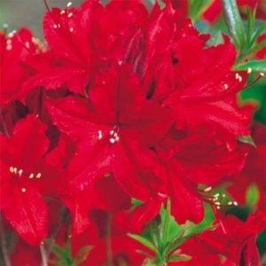 Azalée de Chine 'Wallowa Red' (Rhododendron x Exbury 'Wallowa Red')