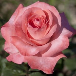 Rosier 'Arthur Rimbaud®' Meihylvol (Rosa 'Arthur Rimbaud')
