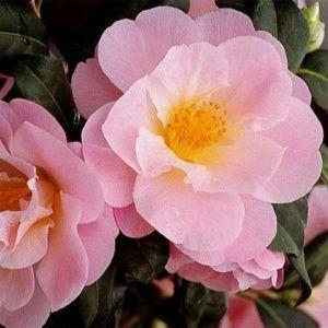 Camélia 'Nicky Crips' (Camellia japonica 'Nicky Crips')