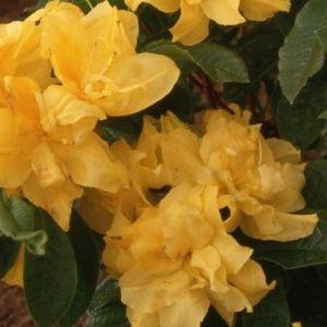 Azalée de Chine 'Umpqua Queen' (Rhododendron x Knaphill 'Umpqua Queen')