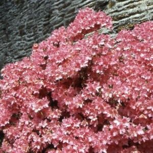 Azalée japonaise 'Bloaw's Pink' (Rhododendron x Kurume 'Bloaw's Pink')