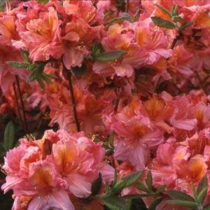 Azalée de Chine 'Berry Rose' (Rhododendron x Knaphill 'Berry Rose')