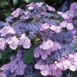 Hortensia 'Vicomte de Kerlot' – pot de 3 litres, 5/7 branches