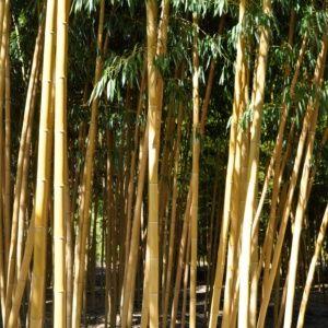 Bambou géant : Phyllostachys vivax  'Aureocaulis' – En pot de 7 litres