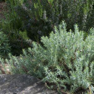Euphorbia pithyusa – Lot de 3 godets de 7 cm