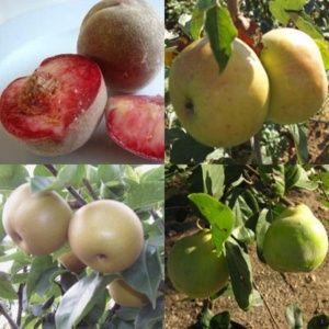 Haie fruitière classique composée de 8 arbustes