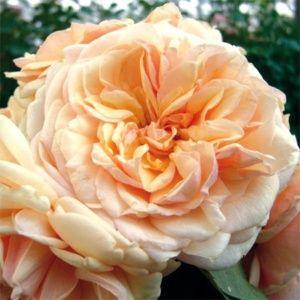 Rosier Generosa® 'Morabito®' (Rosa  'Morabito®' JACyelap)