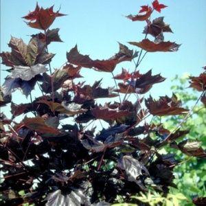 Erable plane 'Schwedleri Nigrum' (Acer platanoides 'Schwedleri Nigrum')