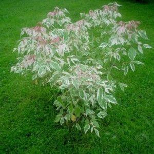 Erable à feuilles de frêne 'Flamingo' (Acer negundo 'Flamingo')