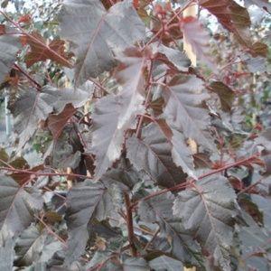 Bouleau  x pendula 'Royal Frost' (Betula szechuanica x pendula 'Royal Frost')
