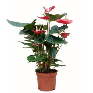 Anthurium sierra rouge – En pot de 17cm , hauteur 55cm
