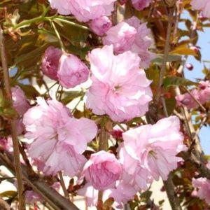 Cerisier à fleurs 'Kanzan' (Prunus serrulata 'Kanzan')