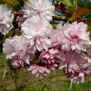 Cerisier à  fleurs pleureur 'Kiku Shidare Sakura' (Prunus serrulata 'Kiku Shidare Zakura')