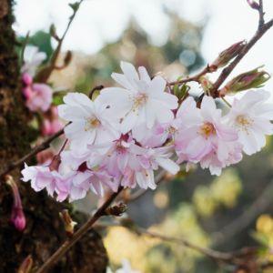 Cerisier à fleurs 'Autumnalis Rosea' – Pot de 20 litres, hauteur totale 170/200cm en demi-tige de 8/10