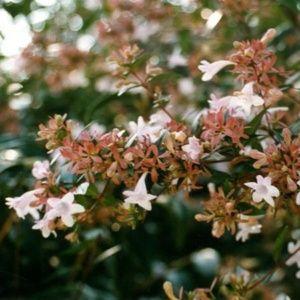 Abelia x grandiflora x 2
