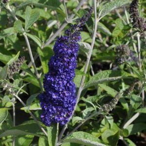 Arbre aux papillons 'Adonis Blue' (Buddleia davidii 'Adonis Blue')