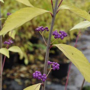 Callicarpa dichotoma 'Issai' ( Pot 3 litres, 30/40cm )