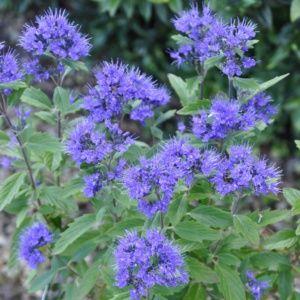 Caryopteris Grand Bleu – Pot de 3 litres