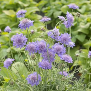 Scabieuse 'Butterfly Blue' (Scabiosa columbaria 'Butterfly Blue')