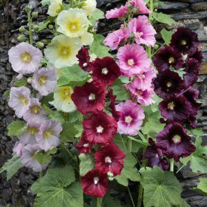 Rose trémière en mélange de coloris (fleurs simples) (Alcea rosea)