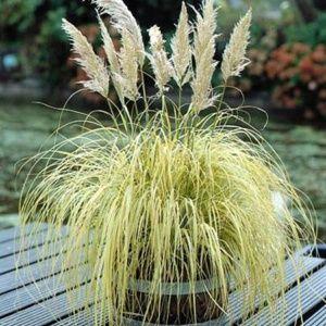 Herbe des pampas 'Splendid star' – Pot de 4 litres – PLANTES ET JARDINS – Jardinerie en ligne
