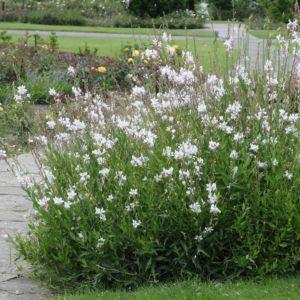 Gaura lindheimeri blanc – Lot de 3 godets de 7 cm