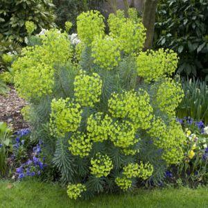 Euphorbe characias 'Wulfenii' (Euphorbia characias 'Wulfenii')