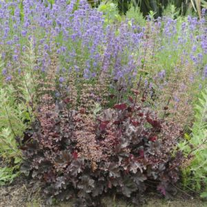 Heuchera micrantha palace purple – Lot de 3 godets de 7 cm