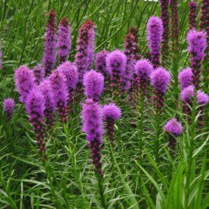Plume du Kansas violet (Liatris spicata violet)