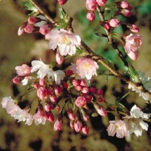 Cerisier à fleurs 'Autumnalis Rosea' (Prunus subhirtella 'Autumnalis Rosea')