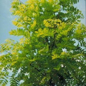 Robinier faux-acacia 'Frisia' (Robinia pseudoacacia 'Frisia')