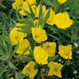 Oenothera missouriensis – Lot de 3 godets de 7 cm