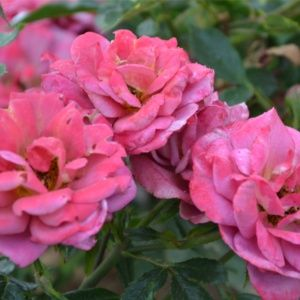 Rosier 'Kaléidoscope®' (Rosa californien 'Kaléidoscope®' JACbow)